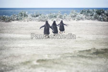 gentoo pinguine die ein schwimmen am