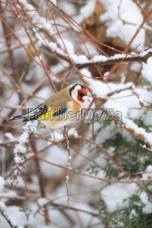 kleiner vogel stieglitz im winter
