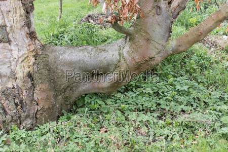 old red beech with ashweed and