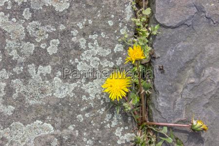 dandelion blossom between natural stones