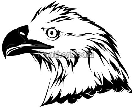 weisskopfseeadler kopf