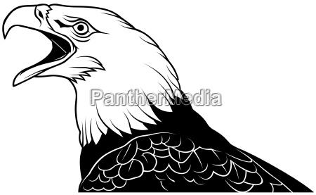 bald eagle kopf