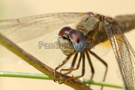 macro of a dragonflys head