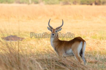 suedliche lechwe in okavango botswana afrika