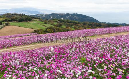 pink cosmos flower garden