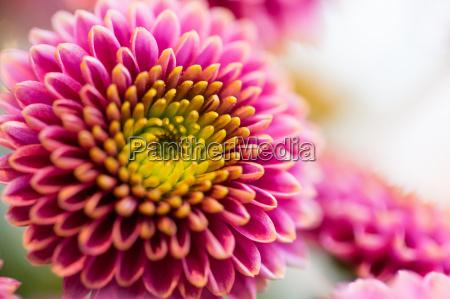 der schoenen rosa blumen chrysantheme nahaufnahme