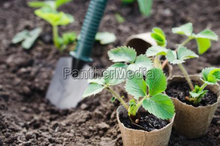 erdbeerpflanzen und seedlings mit gartenbauwerkzeugen konzept