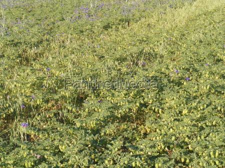 braun braeunlich bruenett bohnen braune kueken