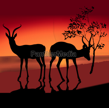 two silhouetted antelope and red sunset