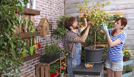 paar picking kumquats in ihrem staedtischen