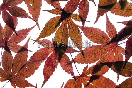 autumn leaves of japanese maple on