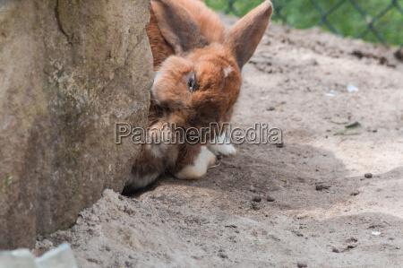 braunes kaninchen auf sandboden