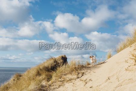 daenemark nordjuetland hund in sandduene