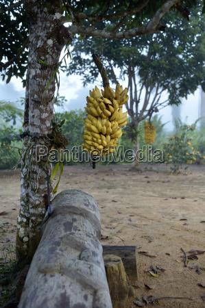 brasilien agrarreform areia bananenplantage bananenpflanze