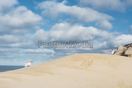 daenemark nordjuetland hund in sandduene am