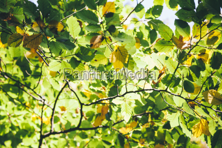 autumnal leaves at sunlight