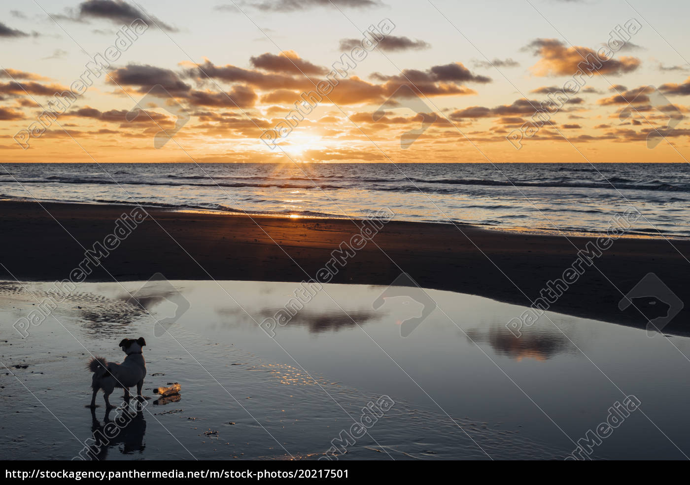 dänemark, nordjütland, hund, am, ruhigen, strand, bei, sonnenuntergang - 20217501