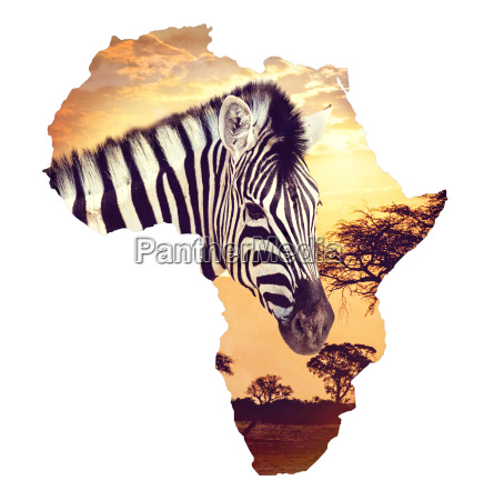 zebraportraet ueber afrikanischen sonnenuntergang mit akazienhintergrund