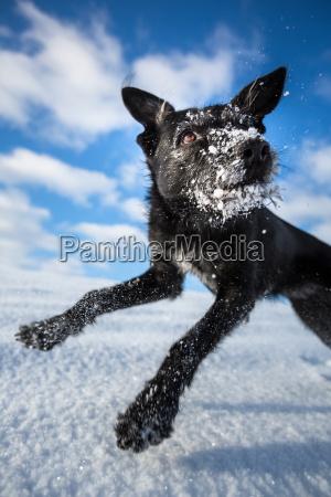 hilarious black dog jumping for joy