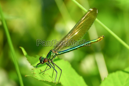macro picture of dragonfly on the