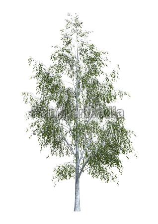 3d rendering birch tree on white