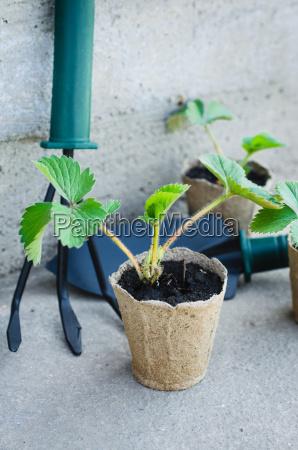 erdbeerpflanzen mit gartenbauwerkzeugen