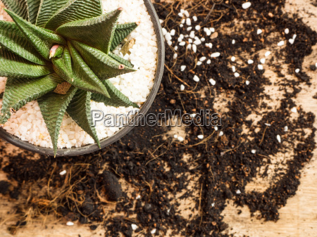 succulent or cactus in pot with
