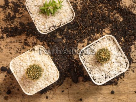saftig, oder, kaktus, im, topf, mit - 20296407