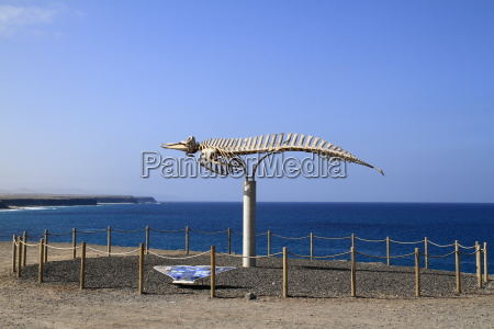 a whale skeleton in fuerteventura canary