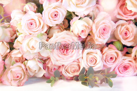 tender of pink roses for a