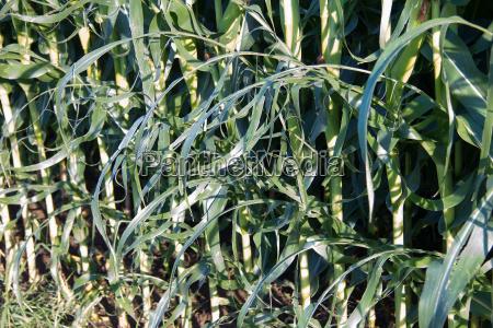 maispflanzen mit hagelschaden auf einem feld