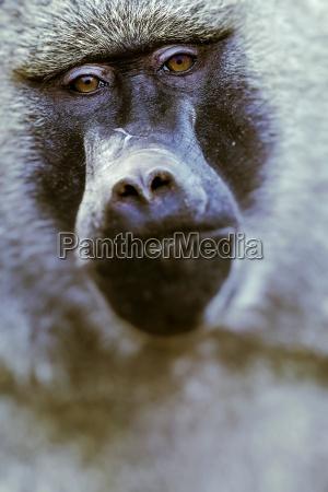 baboon tarangire nationalpark wildschutzgebiet