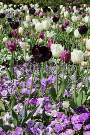 flower bed with tulips