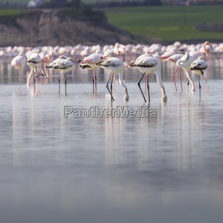 afrikanische flamingos im see ueber schoenen
