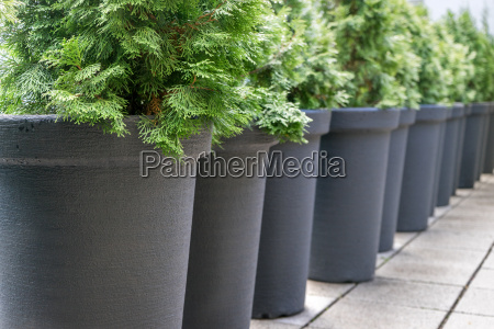 row with gray pots with conifers
