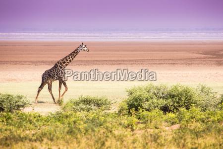 giraffes in lake manyara national park