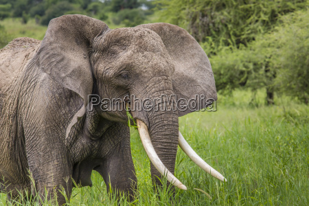 riesiger stier der afrikanische elefanten im