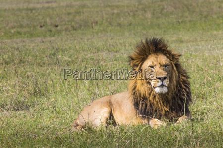 portraet von loewen in masai mara
