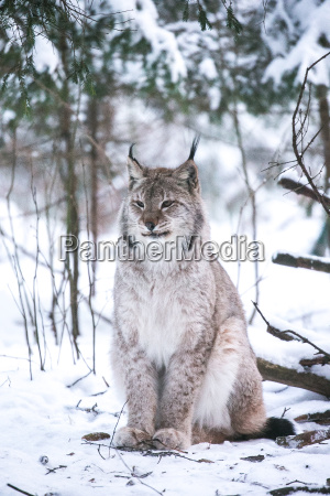 lynx in a winter forest