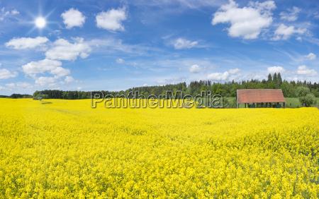 grande campo de colza de florescencia