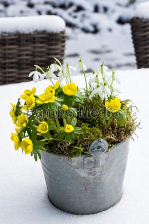 die ersten anzeichen des fruehlings winterling