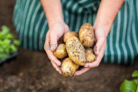 gaertner erntet kartoffeln am gewaechshaus