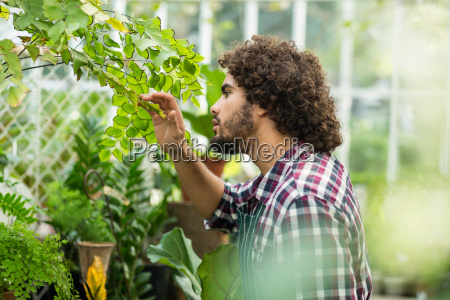 male gardener inspecting plants at greenhouse