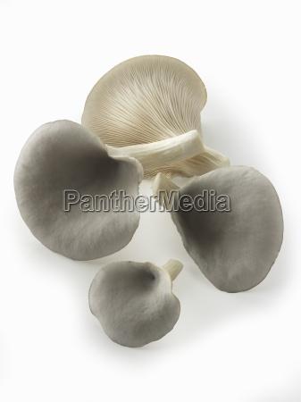 frisch gepflueckte essbare graue austernpilze pleurotus