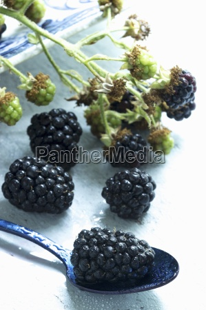 fresh blackberries on a branch and