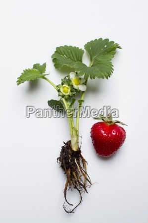 a strawberry plant and a strawberry