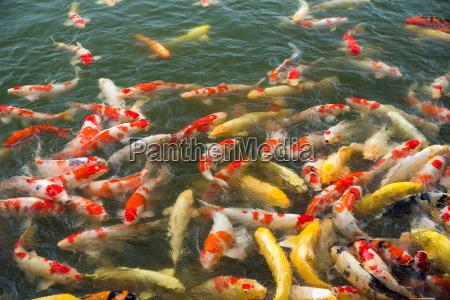 koi fische im teich