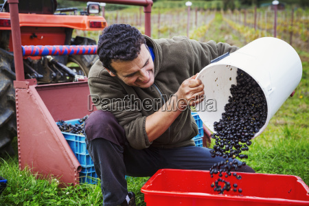 a man pouring red grapes into