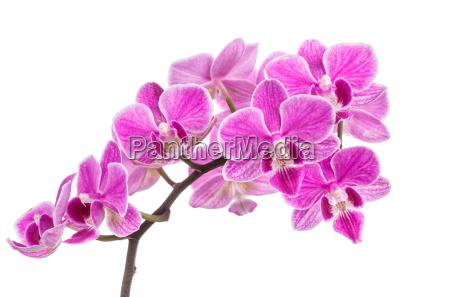zweig der rosa orchideen isoliert auf