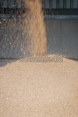 close up of wheat grain falling